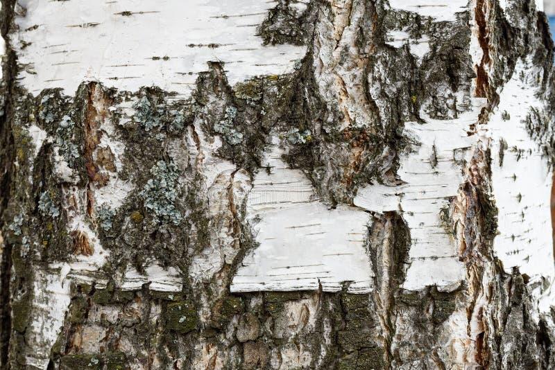 Tekstura brzozy barkentyna abstrakcjonistyczny brzozy barkentyny tło obrazy stock