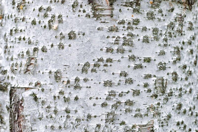 Tekstura brzozy barkentyna z pięknym wzorem zdjęcie stock