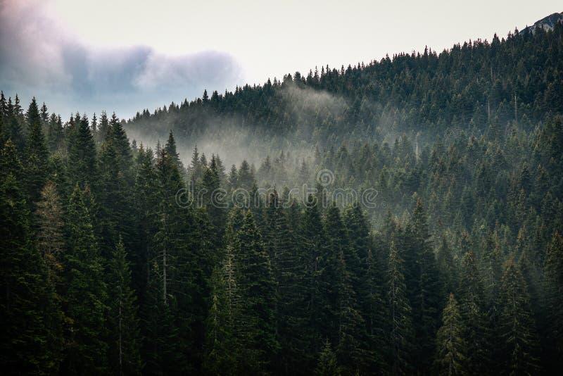 Tekstura conifers z mgłą między one zdjęcia stock