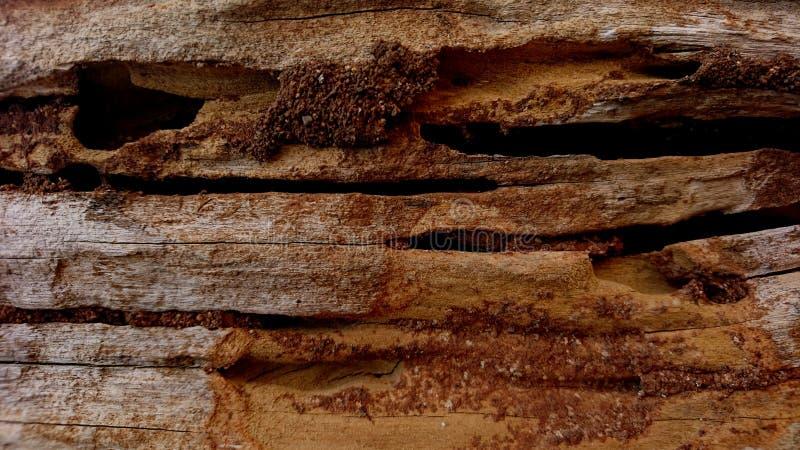 Tekstura drewna tekowego jest uszkodzona i perforowana przez termity obraz stock