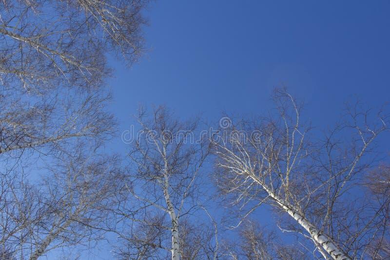 Tekstura drzewa w lesie strzelał od dołu do góry przeciw niebieskiemu niebu obraz royalty free
