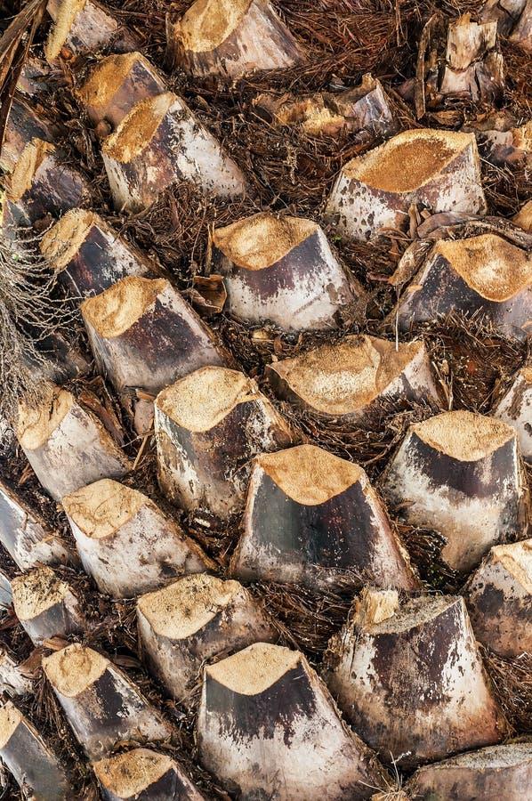 Tekstura drzewko palmowe barkentyna fotografia stock
