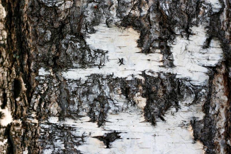 Tekstura drzewna barkentyna tła brzozy tekstury biel zbliżenie fotografia royalty free