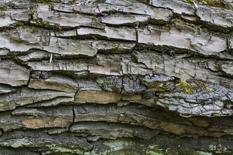 Tekstura drzewna barkentyna z pazami i pazami obrazy stock