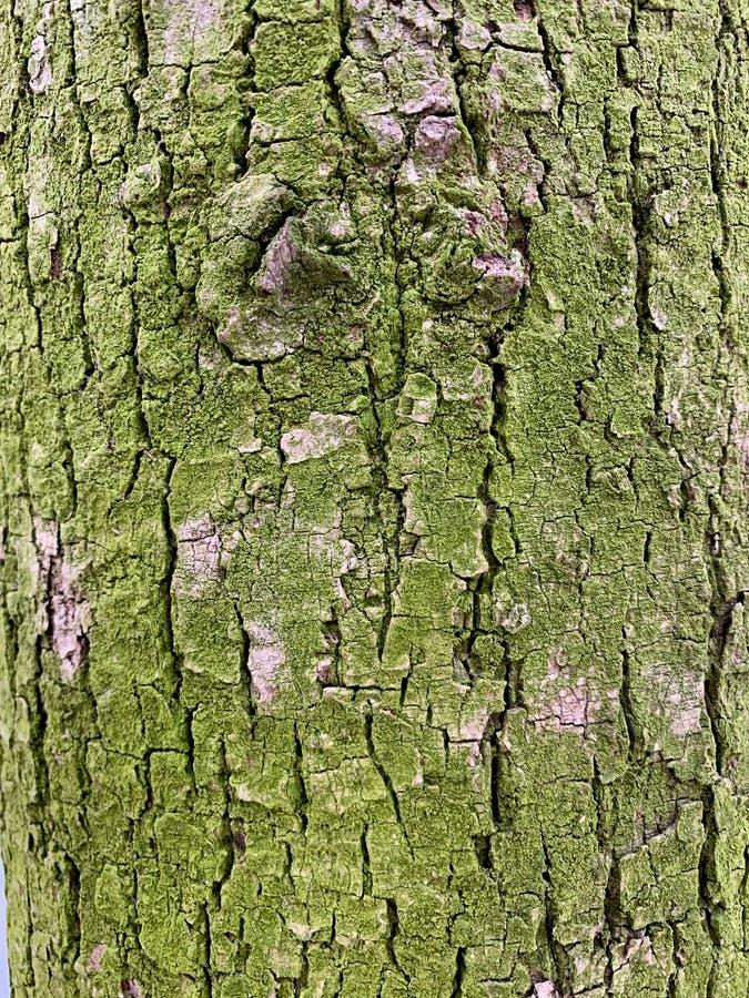 Tekstura drzewna barkentyna, zielony mech obrazy stock