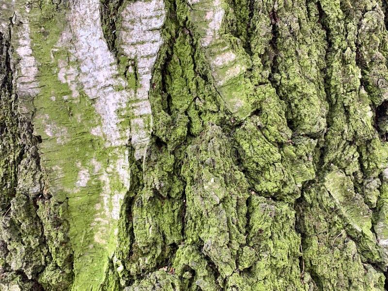 Tekstura drzewna barkentyna zielony mech, troszkę obrazy stock