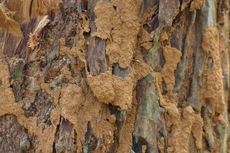 Tekstura drzewnego bagażnika powierzchnia Na ten powierzchni, termity rysuje niektóre piękną teksturę fotografia royalty free