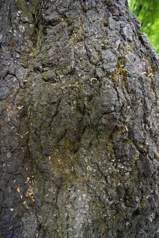 Tekstura nierówna drzewna barkentyna obrazy royalty free