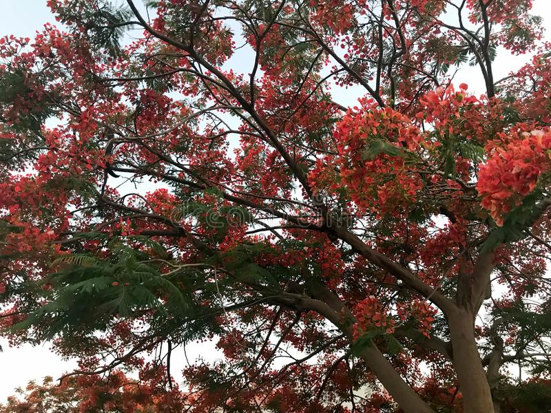 Tekstura ognisty drzewo z czerwonymi pięknymi naturalnymi liśćmi z kwiatów płatkami, tropikalna egzotyczna roślina w Egipt przeci zdjęcie stock