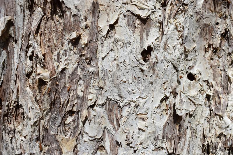 Tekstura Paperbark drzewo obrazy royalty free