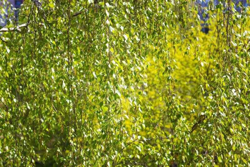 Tekstura robić zielona brzoza opuszcza stonowanego wizerunek zdjęcie royalty free