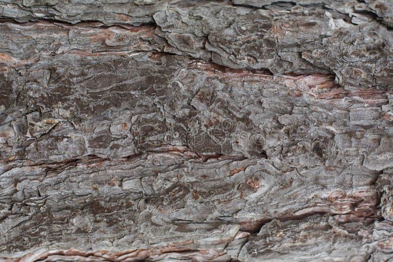Tekstura sosna obraz stock