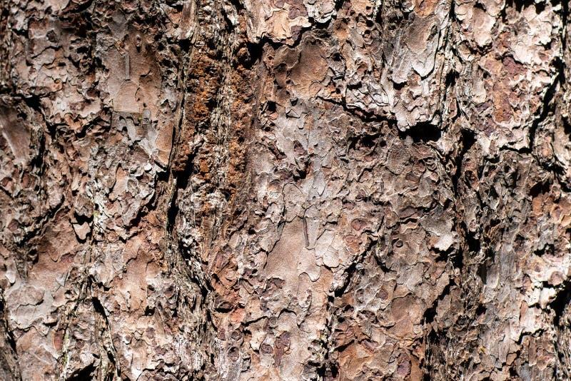 Tekstura sosnowa barkentyna w zakończeniu w górę obrazy royalty free