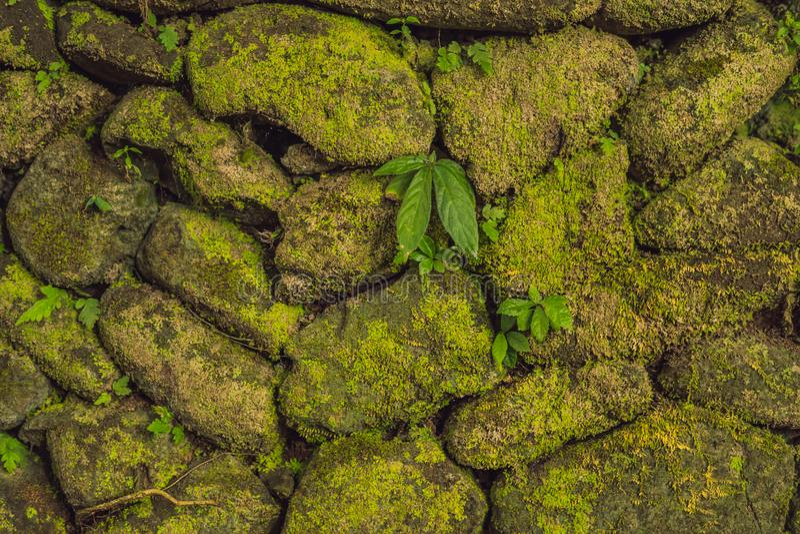 Tekstura stara kamienna ściana zakrywał zielonego mech w forcie Rotterdam Makassar, Indonezja, - obrazy stock