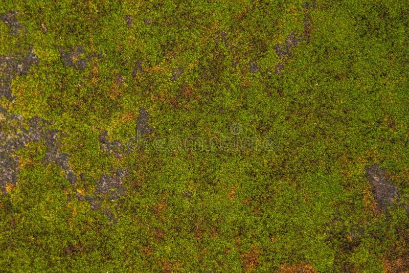 Tekstura stara kamienna ściana zakrywał zielonego mech w forcie Rotterdam Makassar, Indonezja, - fotografia royalty free