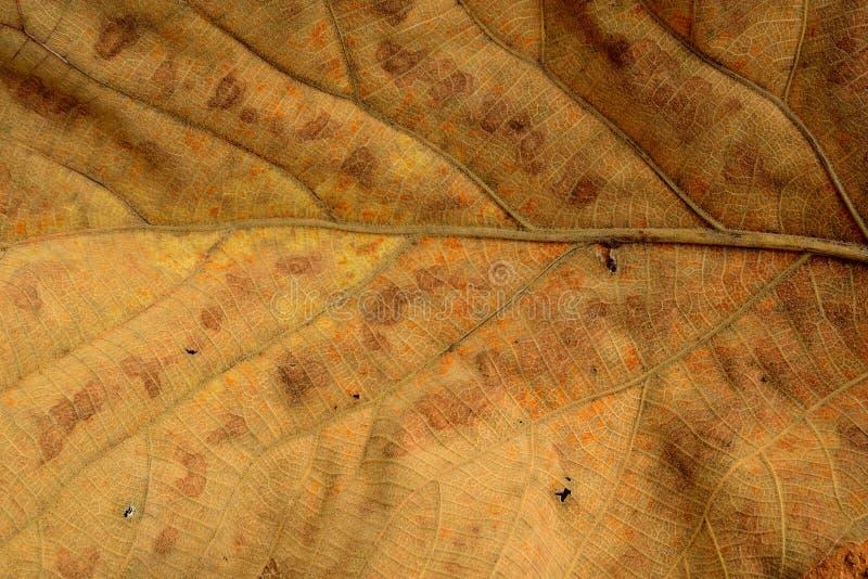 Tekstura suchy tekowy liścia zbliżenie obraz royalty free