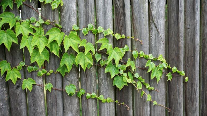 Tekstura, tło zieleń/opuszczamy dorośnięcie nad drewnianym ogrodzeniem zdjęcia stock