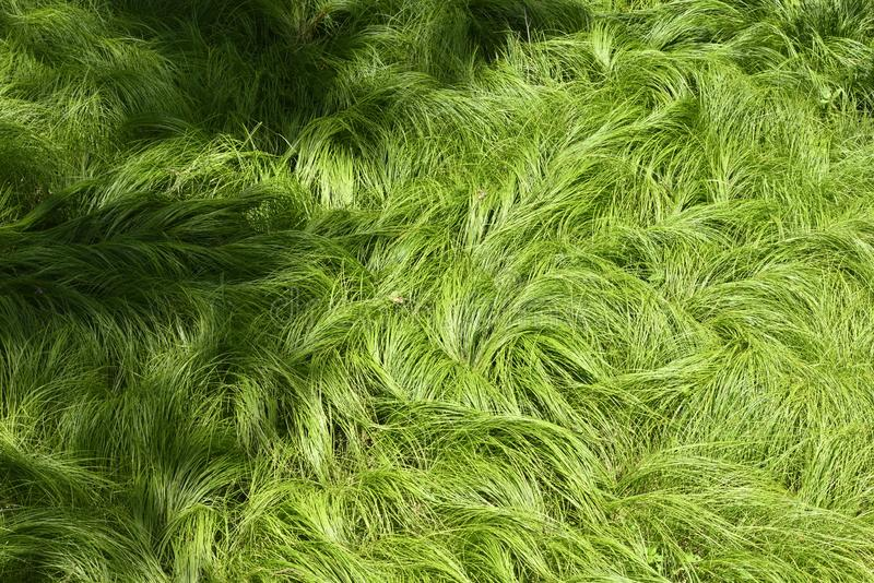 Tekstura trawy kołysał wiatru No1 zdjęcia stock