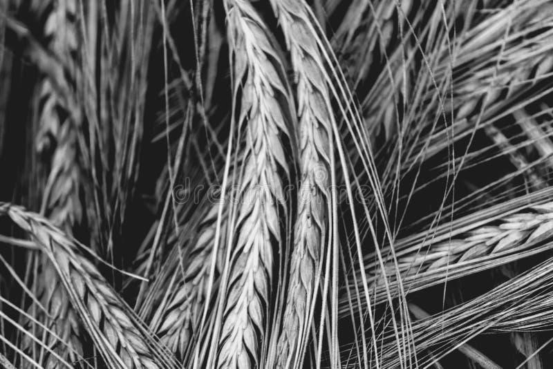 Tekstura w czarny i biały pszenicznych ucho zdjęcie royalty free