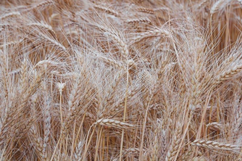 Tekstura złoci ucho pszeniczny pole obraz stock