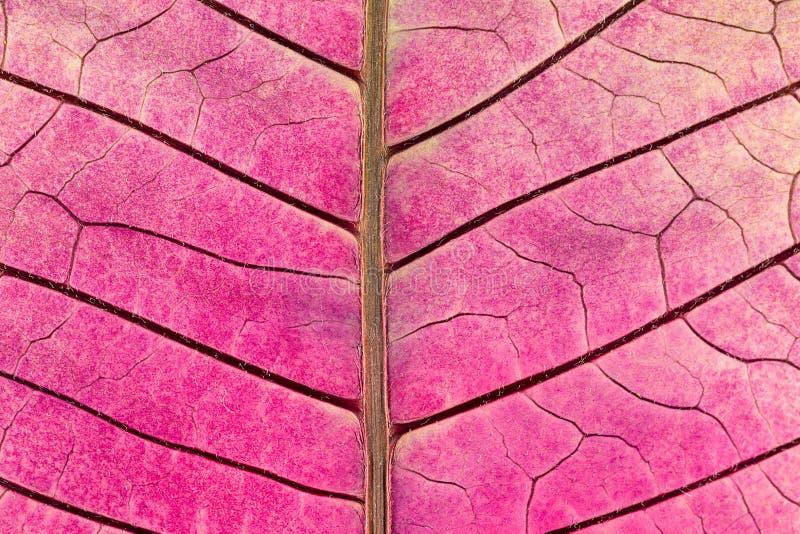 Tekstura z liść żyłami więdnący poinsecja kwiat obraz royalty free