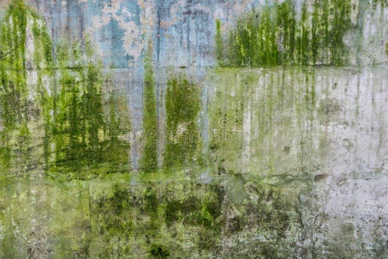 Tekstura zakrywająca z zielonym mech stara betonowa ściana obrazy royalty free
