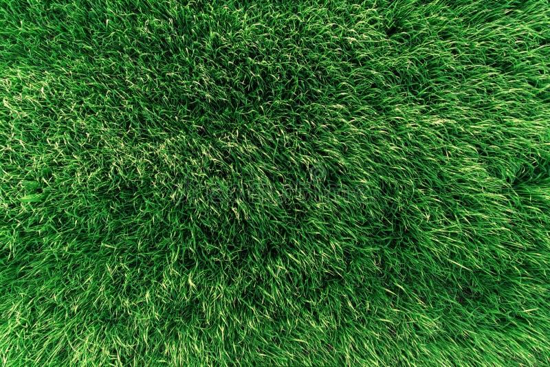 Tekstura zielona tłustoszowata trawa na polu obrazy stock