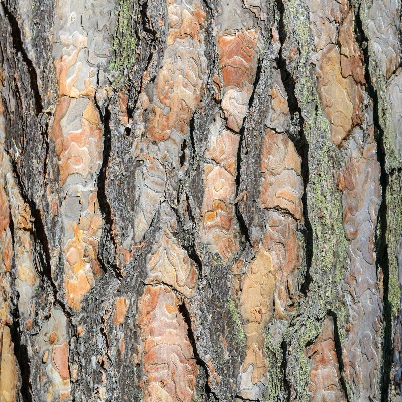 Tekstury brązu sosny barkentyna obraz royalty free