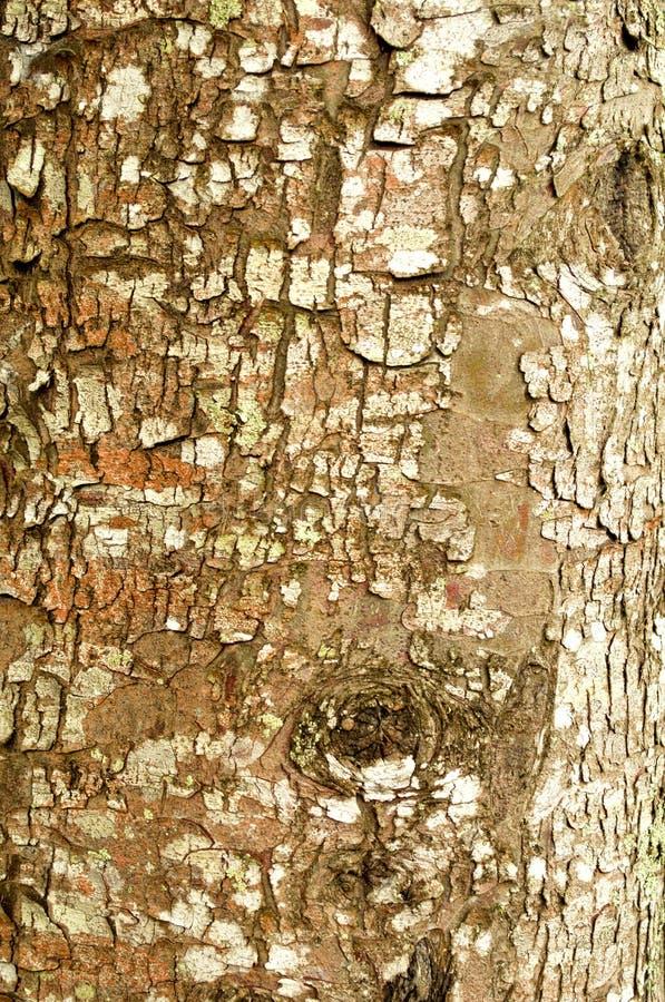 tekstury korowaty stary topolowy drzewo obraz stock