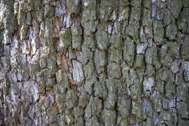 tekstury korowaty stary topolowy drzewo naturalni tła, tekstury - barkentyna Europejski bonkrety drzewo Zakończenie w górę widoku obrazy stock