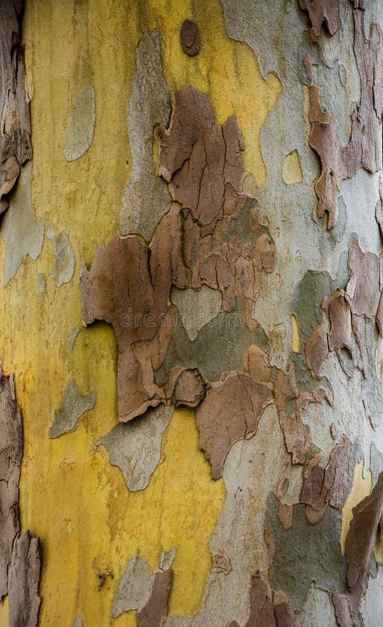 Tekstury płascy drzewa r Kolor żółty, zieleń, błękit, brąz i szarość, Tło drzewni bagażniki fotografia royalty free
