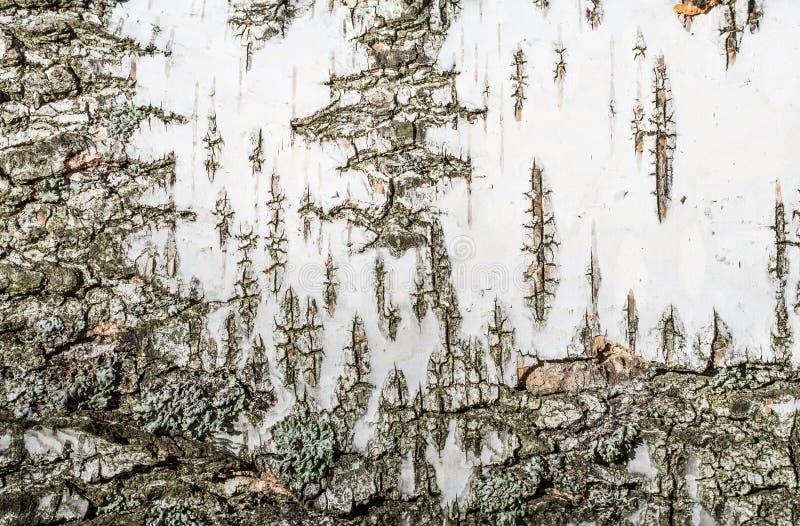 Tekstury tło brzozy barkentyna zdjęcia stock