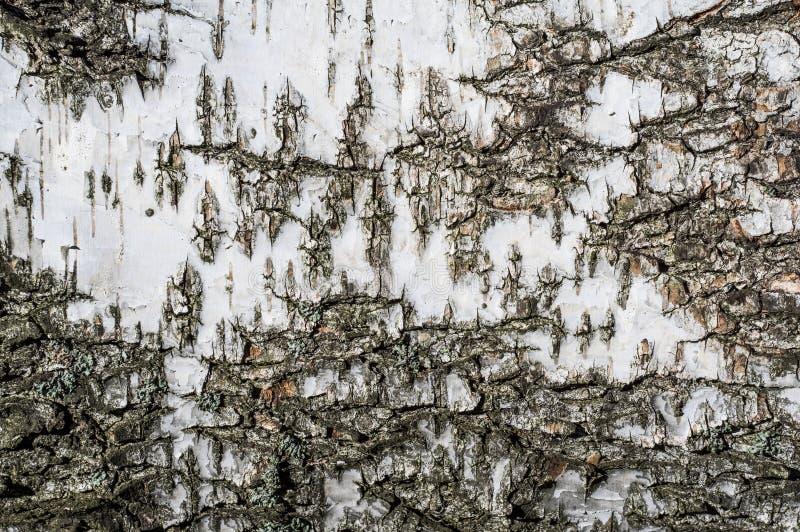 Tekstury tło brzozy barkentyna obraz stock