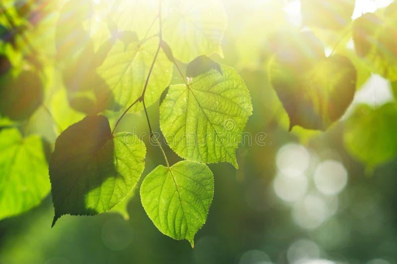 Tekstury zieleń opuszcza w lato parku z słońca tłem zdjęcie stock