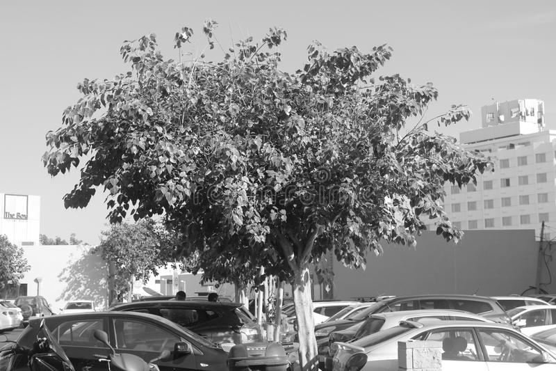Tel Av-iv tree. A tree near the docks of Tel Av-iv royalty free stock images