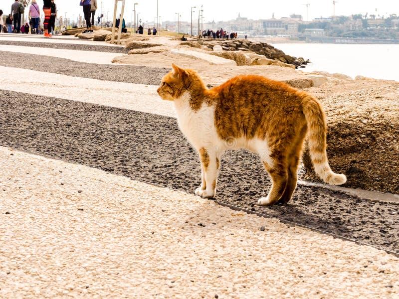 Tel Aviv, Israel - 4 de fevereiro de 2017: Gato vermelho com os pontos brancos na praia do telefone Baruch em Tel Aviv imagem de stock