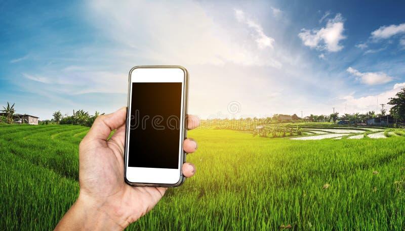 Telefone esperto à disposição com panorama do campo do arroz no por do sol, com espaço da cópia em telecomunicações da tela do te fotografia de stock royalty free
