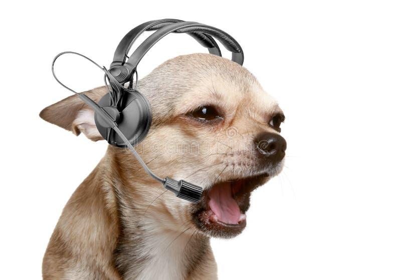 Telefonista cómoda del perrito de la chihuahua imagenes de archivo
