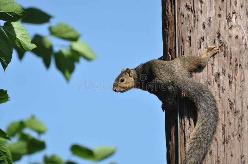 Telefonpoleichhörnchen lizenzfreie stockfotos