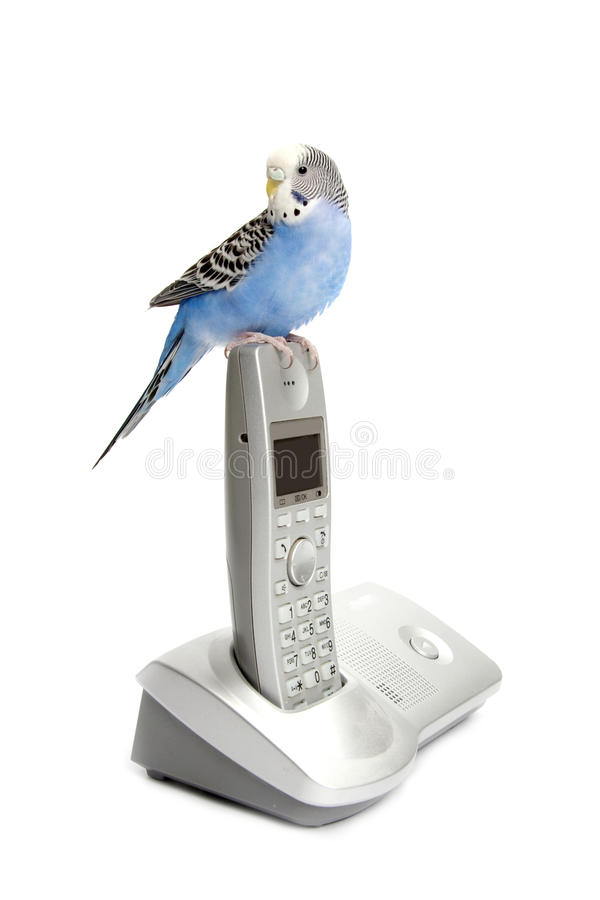 Telephone with budgie stock photography