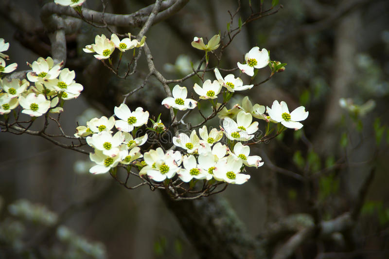 Telephoto da árvore de corniso imagens de stock
