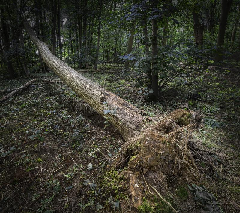 Tell forest tree blown over by the wind royalty free stock photos
