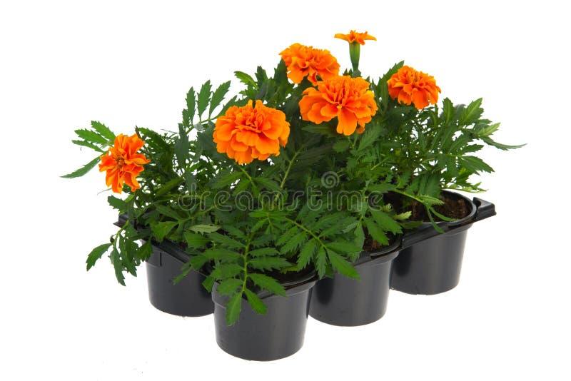 Tellersegmentorange Ringelblumen stockbild
