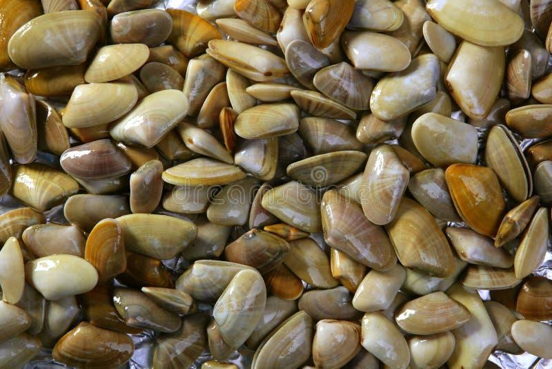 Tellinidae Sunrise tellin clams pattern. Background stock photos