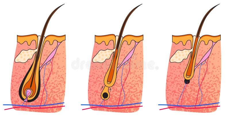 Telogen di catagen di Anagen illustrazione vettoriale