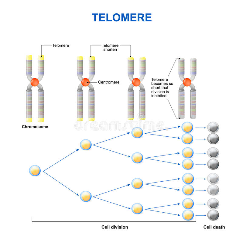 Telomere stock illustratie