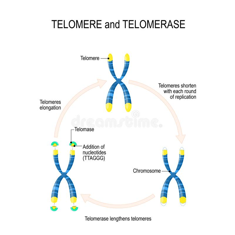 Telomere and telomerase. Aging process. A telomere located at the ends of chromosomes. Each time a cell divides, the telomeres become shorter. vector for royalty free illustration