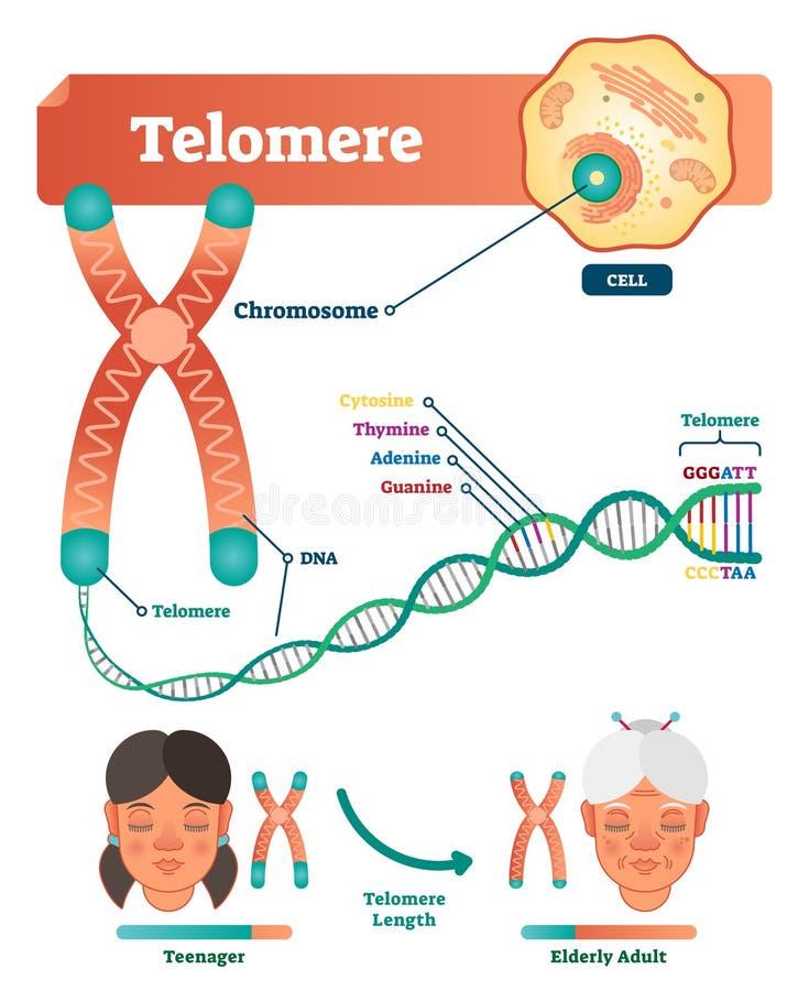 Telomere vectorillustratie Onderwijs en medische regeling met cel, chromosoom en DNA Geëtiketteerd anatomisch diagram royalty-vrije illustratie