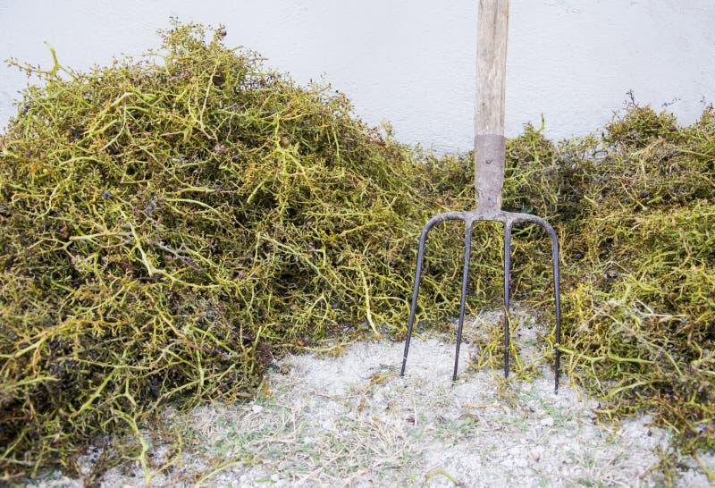 Tema da colheita A uva desengaça o fundo & o x28; apenas stalks& x29; com forcado imagens de stock royalty free