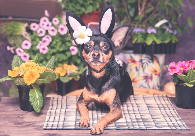 Tema da Páscoa e da mola, o cão no traje do coelhinho da Páscoa fotos de stock royalty free